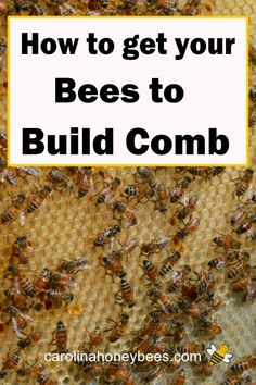 Honey bees build comb for the internal structure of the beehive. Sometimes they are slow to make beeswax. Tips to get your bees to build comb. Honey Bee Hives, Honey Bees, Bee Facts, Beekeeping For Beginners, Bee Swarm, Buzzy Bee, Bee Honeycomb, Bee Do, Backyard Beekeeping
