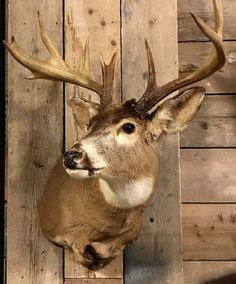 Taxidermy head of an American Muledeer, muldedeer head for sale - Shouldermounts Stuffed head. Hunting trophy animals. Taxidermy - De Jachtkamer