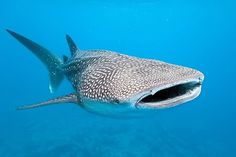 Whale sharks are not only the largest shark species; they are also the largest fish in the world. At 40 feet long, the whale shark is enormous compared to the world's smallest shark, the dwarf lantern shark, whose average size is 6 to 8 inches long. Great Barrier Reef, Rettet Die Wale, Misunderstood Shark, Swimming With Whale Sharks, Shark Diving, Scuba Diving, Save The Whales, Prehistoric Animals, Sea Fish