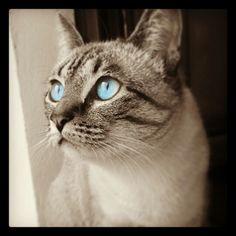 Cat blue eyes - Kyra 20140317