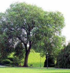North Dakota State Tree: American Elm