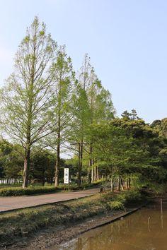 新緑のメタセコイア Metasequoia of fresh green Hamamatsu, Fresh Green, Railroad Tracks, Country Roads, Japan, City, Nature, Scenery, Naturaleza