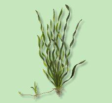 AQUARIUM GUIDE - Wasserpflanzen - Vallisnerie, Biwa-See- - Vallisneria americana var. biwaensis