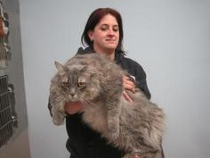 And I thought my Maine Coon was huge.   Giant Maine Coon kitty needs a home in NJ! Adopt him today.