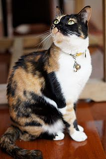 isn't Sweetie the most beautiful cat in the world <3