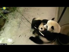 Bei Bei Panda - Tough Guy - January 2016 - YouTube