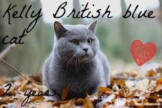 Nejoblíbenější plemena koček (I.): Britská je opravdová šlechtična