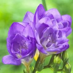 Freesias are elegant flowers with, long, graceful stems and a wonderful fragrance. We offer separate colors so you can choose your favorites. Perennial Flowering Plants, Spring Flowering Bulbs, Herbaceous Perennials, Bulb Flowers, Purple Flowers, Colorful Flowers, Blue Garden, Fall Plants, Elegant Flowers