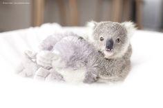 Symbio Zoo » Search Results » koala video