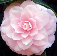 The pink camellia flower, taken in the Savill Garden at Great Windsor Park, UK. Dreamy!