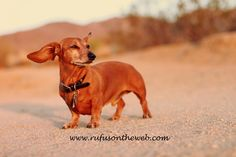 More of Rufus & Emily at Joshua Tree. http://wp.me/p27Fw1-p2  #dachshund #doxies #JoshuaTree ; in this photo Rufus is enjoying the desert breeze at sunset.  If you think the desert temp is fixed at HOT, you'd be misinformed. The temps change and it can get really windy and cool as the sun starts to set.  :-)