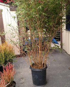 Alphonso Karr Bamboo yellow clumping branches Kobata Growers @kobata_growers # kobata #grow #plants # #special #gardendesigner #gardenasart #landscape #landscapearchitecture #Land #conservation #green #designs #landscape #outdoorart #mindfulness #conservation #leeds #waterwisegardening #sustainable #bamboo #succulents #succulentranch #modern #sculptures #plantpalettes #gardendesigner #plants #droughttolerantplants #color #paintingwithplants by merrileegardenartist #waterwise…
