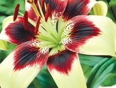 ZLKING 2 Pcs Ture Amaryllis Bulbs Hippeastrum Flower Roof Terrace Bonsai Patio Garden Rare Barbados Lily Flower Bulbs Not Seeds