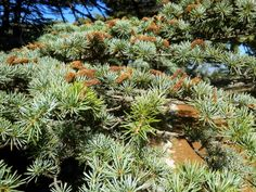 Cedar of Lebanon is a national tree!