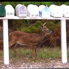 Key Deer Buck seen on Big Pine Key, Florida You can compare the size of the deer to the mailboxes it is standing behind. Big Pine Key, Florida Keys, Key West, In This World, Deer, Antlers, Horns, Animals, Memories
