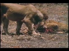 Lion Country - YouTube