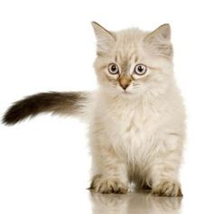Birman kitten- my dream kitty Kittens And Puppies, Cats And Kittens, I Love Cats, Cute Cats, Birman Kittens, Paws And Claws, Here Kitty Kitty, Beautiful Cats, Cat Breeds