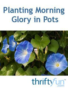 I've been throughly warned about morning glory! Can I simply plant it in a pot and avoid all the drama of it taking over my garden? Will my moon flowers do the same?