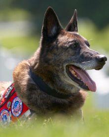 Bino, 2011 Hero Dog Awards winner - Military Dog