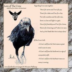 Crows Ravens: Lore of the #Crow.