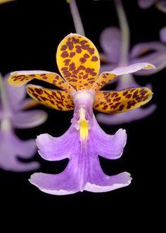 Epidendrum [Oerstedella] schumannianum