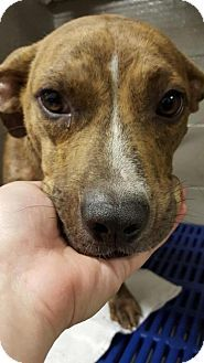 American Pit Bull Terrier/Hound (Unknown Type) Mix Dog for adoption in New York, New York - Zeke