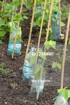 : Újrahasznosított műanyag palackok  bab ültetéshez