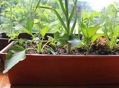 Topfgärtnerei: Gemüse, das sich im Kübel lohnt