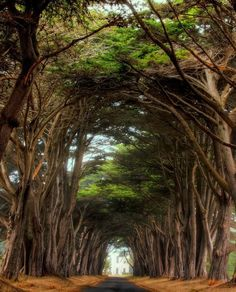 Cyprus tree way to the Historic RCA building in Point Reyes National Seashore, California