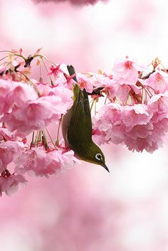 A White-eye hanging from a cherry tree