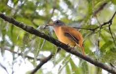 Tinguaçu-de-barriga-amarela (Attila citriniventris)