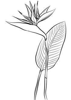 Flower Drawing Bird of paradise Coloring pages. Select from 30508 printable Coloring pages of cartoons, animals, nature, Bible and many more. Bird Of Paradise Tattoo, Birds Of Paradise Plant, Art Floral, Doodle Drawing, Zen Doodle, Paradise Painting, Paradise Wallpaper, Plant Tattoo, Tattoo Bird
