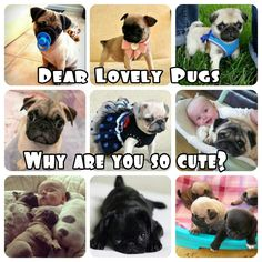 Dear Lovely Pugs, Why Are You So Cute...?