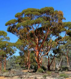 Salmon Gums @ Kalgoorlie Western Australia by Amanda Paul Australian Plants, Australian Bush, Australian Artists, Western Australia, Australia Travel, Tasmania, Australian Photography, Rock Pools, Native Plants