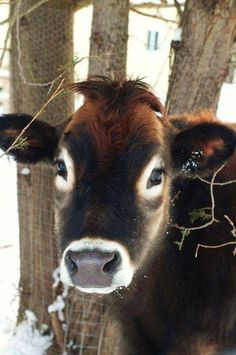 I want my very own cow someday.and a cow. Handsome Norman, a rescued veal calf, living out a happy long life at Snooters Farm Sanctuary in Ontario. All Gods Creatures, Cute Creatures, Beautiful Creatures, Animals Beautiful, Beautiful Eyes, Animals And Pets, Cute Animals, Baby Cows, Baby Farm Animals