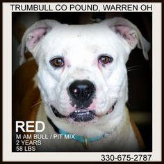 Red is an adoptable American Bulldog Dog in Warren, OH. Red is a very handsome guy....about 2 years old. �He weighs around 58 lbs. �Please come down and meet this loving dog! �Available for rescue/ado...