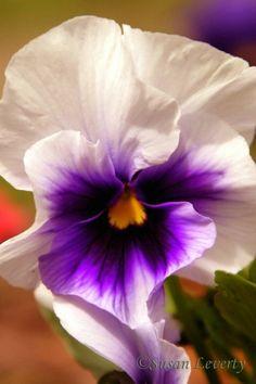 Bela ☀ Pansy White & Purpl Amor Momentos
