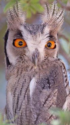 Prächtig 153 besten Eulen Bilder auf Pinterest in 2018 | Owls, Beautiful @OU_26
