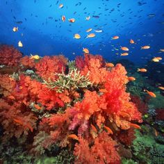 The shallow reefs off of Jupiter, Florida, home to hundreds of tropical fish, are easily accessible to snorkelers.