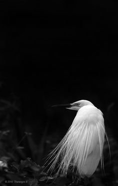 Flowing plumes in glowing white, this egret made a spectacular sight. In glorious breeding plumage, he told a different story. Black And White Birds, Photo Storage, Beautiful Places, Colours, Animals