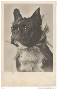 Cpa. Chien. French Bulldog,Bouledoque Français. Hunde. Old Dog Photo Postcard. 1935.