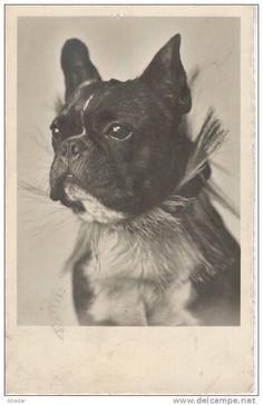 Cpa. Chien. French Bulldog,Bouledoque Français. Hunde. Old Dog Photo Postcard. 1935.