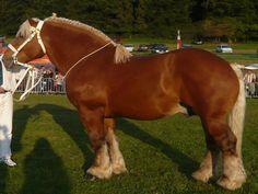 85 meilleures images du tableau cheval comtois   Equine photography ... c0d0943da58