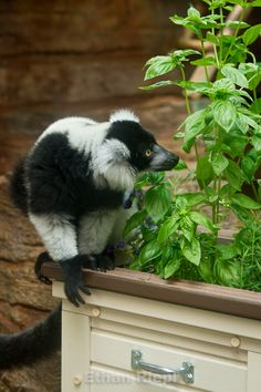 Flower And Herb Browse Planter for Black And White Ruffed Lemur at Saint Louis Zoo.