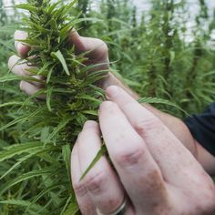 Both houses adopt bills authorizing sale of industrial-hemp products