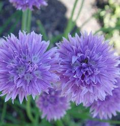 Chives, planted as a companion to Roses, are rumored to increase the perfume of roses, ward off aphids, and prevent black spot.