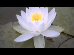 Learn about the lotus flower meaning as well as see pictures of various types of lotus flowers. Blue, white, and Egyptian lotus flower meanings and pictures at Lotus Flower Symbolism, Lotus Flower Meaning, Church Wedding Flowers, Cheap Wedding Flowers, Wedding Ceremony, Wedding Decor, Lotus Flower Pictures, Buddhism Symbols, Christophe André