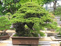 Masahiko Kimura Bonsai | MATSU BONSAI: Jardin de Maître Masahiko Kimura