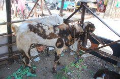 Jamnapari goat of Bandra