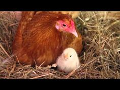 ▶ Our Chickens Hatching!! - YouTube